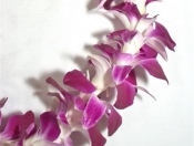 Single Purple Bombay Orchid Lei