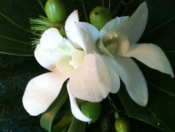 Green and white boutonniere - $15