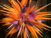 A spectacular wedding bouquet of Birds of Paradise spikes